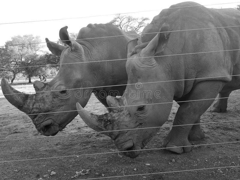 Bébés de rhinocéros en captivité photographie stock