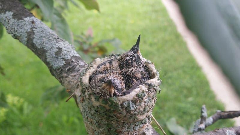 Bébés de ronflement d'oiseau dans leur nid photographie stock libre de droits