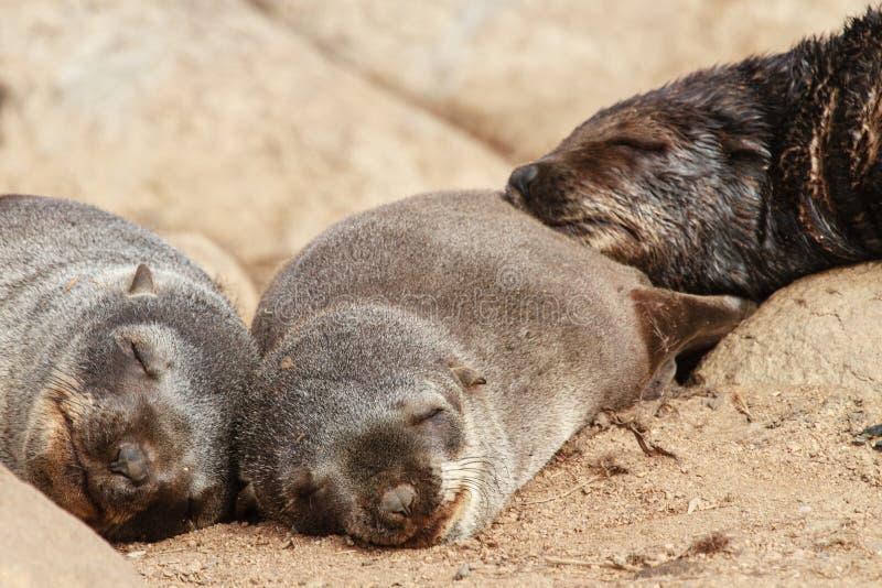 Bébés phoques de fourrure de cap images libres de droits