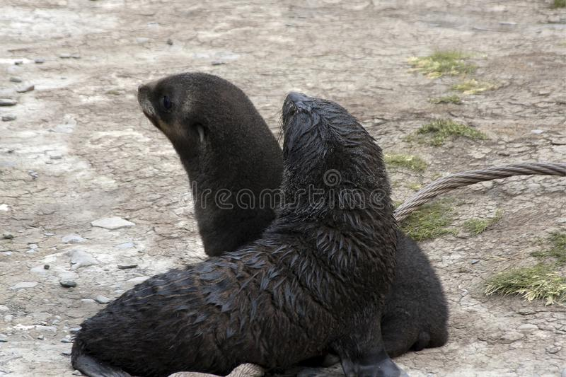 Bébés phoques jouant sur la plage parmi les os de baleine et le câble jeté images stock