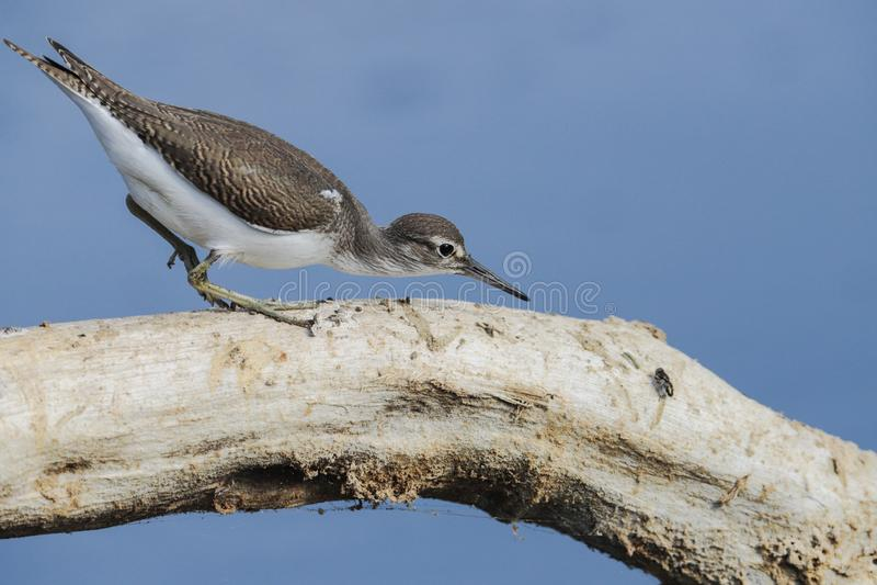 Bécasseau commun migrateur de forager, hypoleucos d'Actitis photos stock