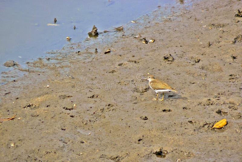Bécasseau commun sur un bord de mer boueux photos libres de droits