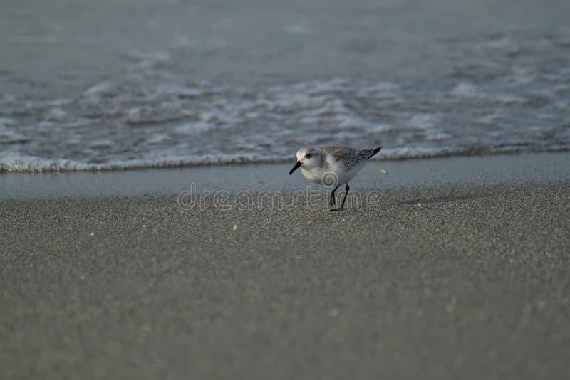 Bécasseau marchant la plage pendant le lever de soleil au-dessus du Golfe du Mexique image stock
