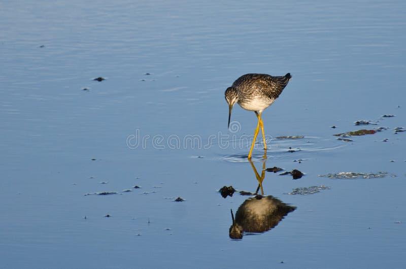 Bécasseau solitaire en eau peu profonde image libre de droits