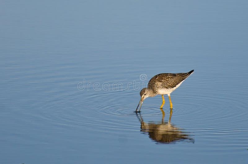 Bécasseau solitaire en eau peu profonde photo stock