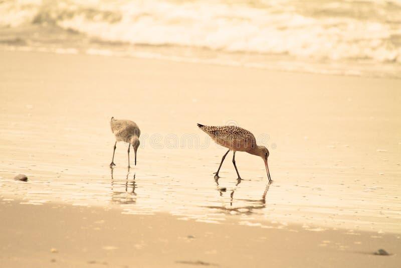 Bécasseau sur la plage photographie stock