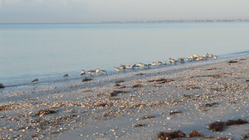 Bécasseaux alimentant à l'aube à la plage de la Floride photos libres de droits