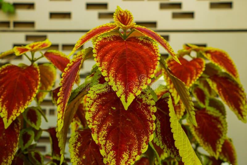 Bégonia dans le pot de fleurs sur le fond en bois Genre des usines fleurissantes éternelles dans le Begoniaceae de famille photo libre de droits