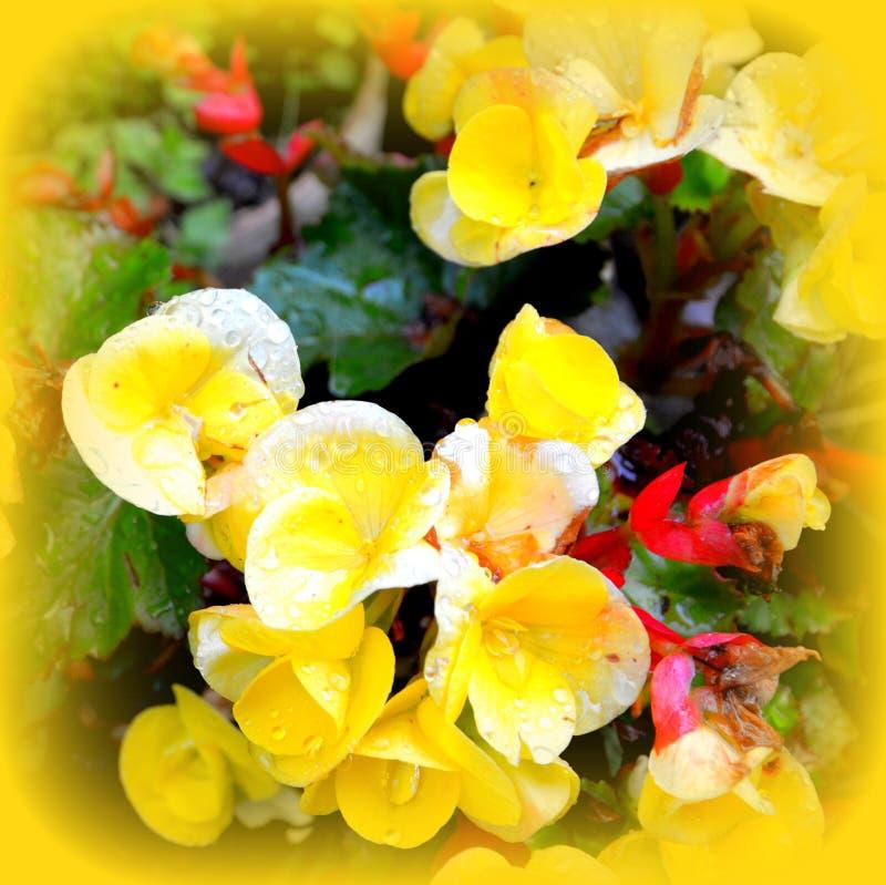Bégonia de jaune de Beuatiful Fleurs gentilles dans le jardin dans le milieu de l'été, dans un jour ensoleillé Horizontal vert photo stock