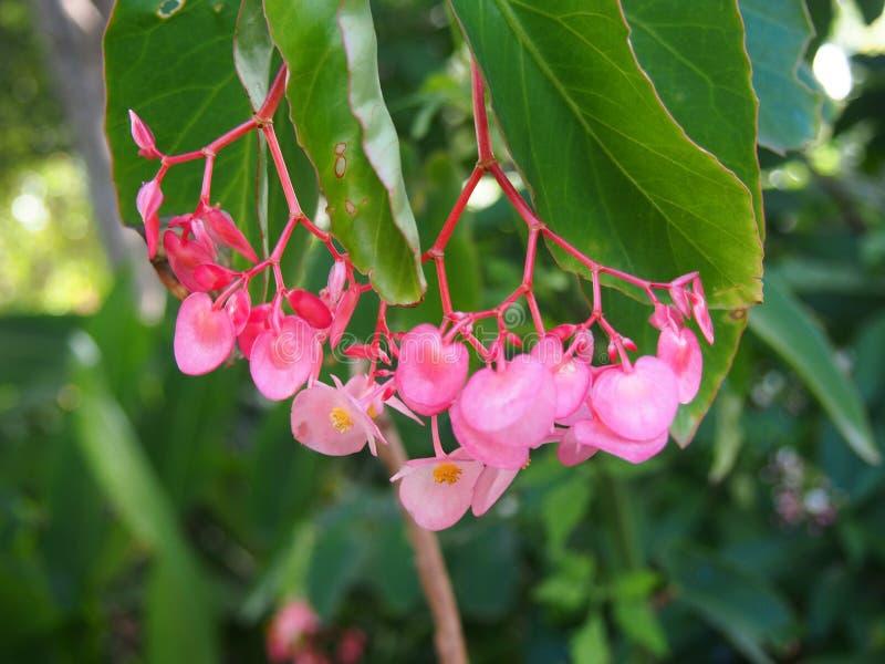 B?gonia rose Sydney Royal jardins botaniques en mars 2019 photo libre de droits