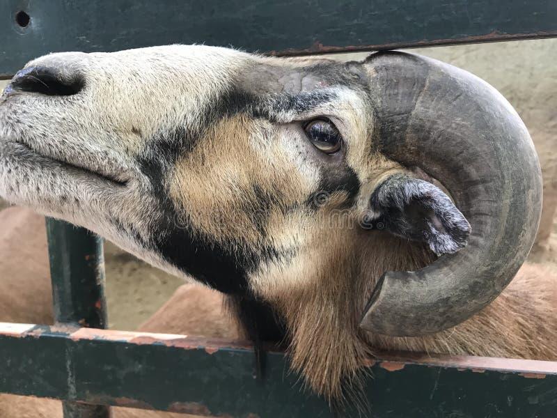 Bélier d'ammon de Mouton-Ovis, mâle, plan rapproché photo stock
