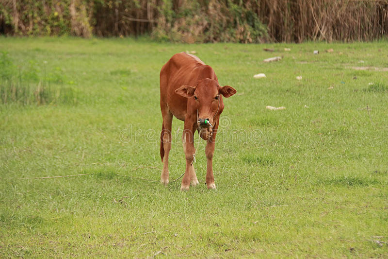 Bétail alimentant le ranch photo stock