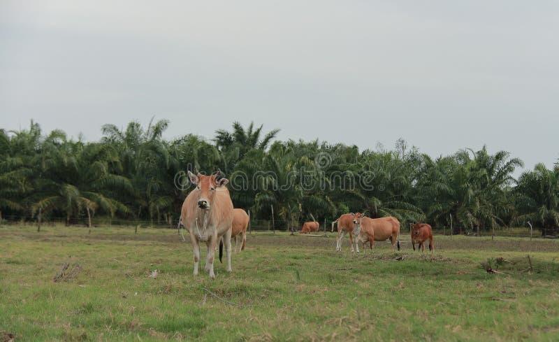 Bétail alimentant le ranch photographie stock libre de droits