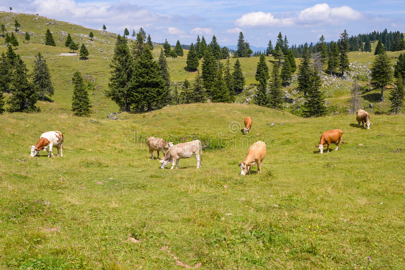 Bétail, bétail frôlant sur le pâturage en montagnes image stock