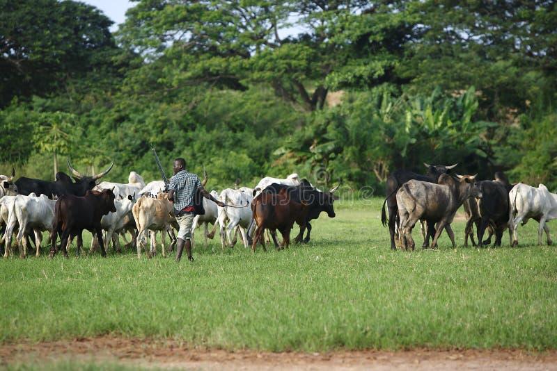 Bétail d'Afrikan entre les paumes vertes images stock