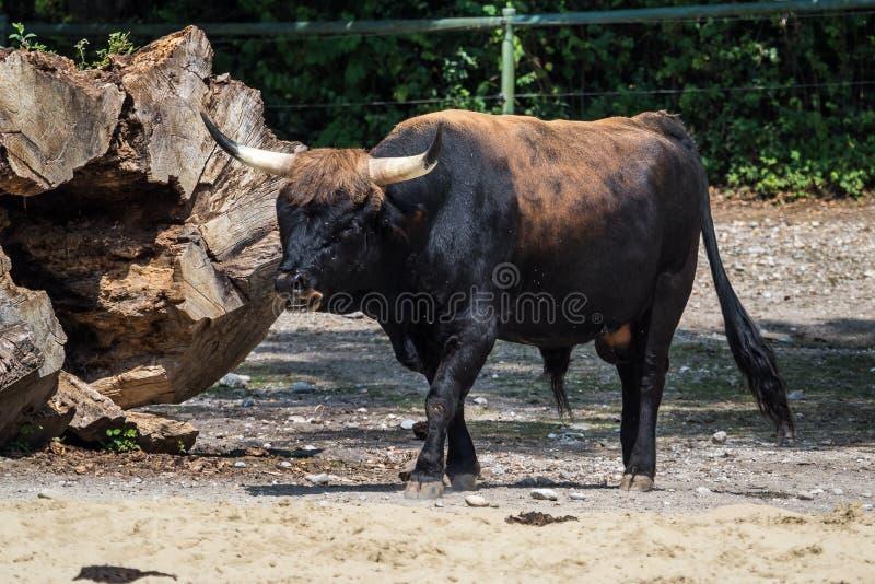 Bétail d'estacade à claire-voie, Taureau de primigenius de Bos ou aurochs dans le zoo photos stock