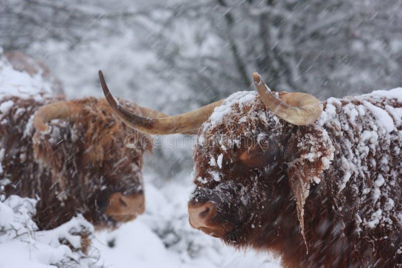 Bétail d'hiver image libre de droits