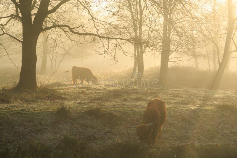 Bétail dans le brouillard images stock