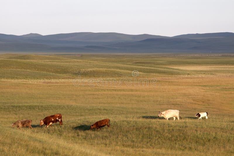 Bétail dans les prairies photo stock