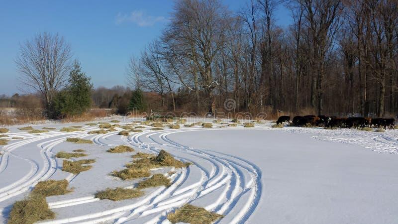 Bétail de alimentation de pâturage en hiver images libres de droits