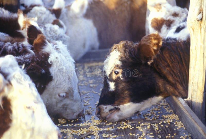 Bétail de Hereford alimentant, MOIS image libre de droits