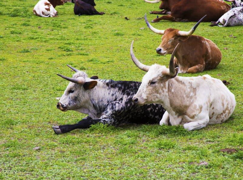 Bétail de Longhorn détendant sur un ranch de pays de colline dans le Texas photo stock
