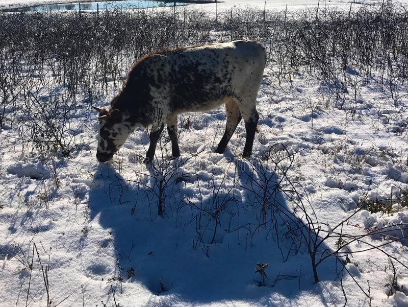 Bétail de Pineywoods dans la neige photo libre de droits