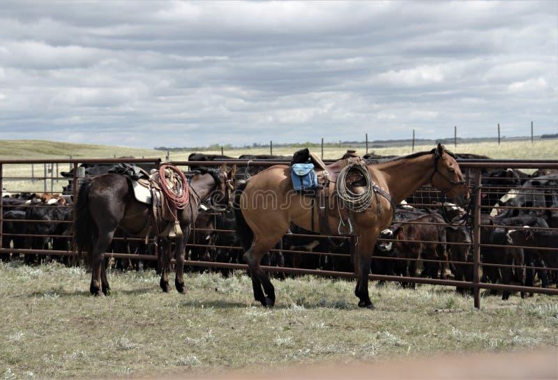 Bétail de travail de ranch occidental de cheval de quart de peau de daim photos libres de droits