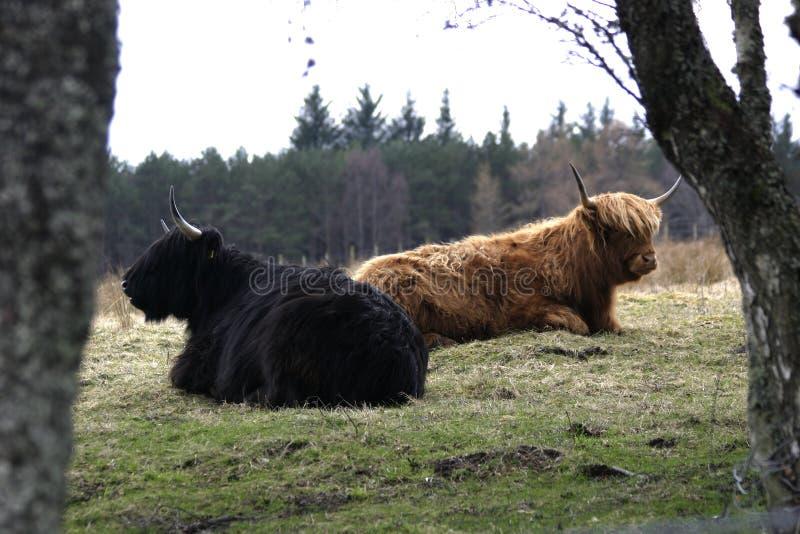 Bétail des montagnes écossais image libre de droits
