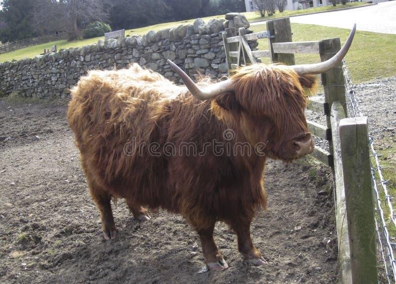 Bétail des montagnes ou race de bétails écossaise images libres de droits