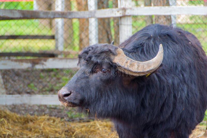 Bétail domestiques noirs, taureau photos libres de droits