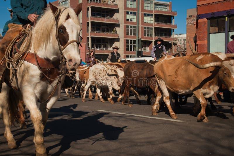 Bétail du Texas Longhorn photo stock