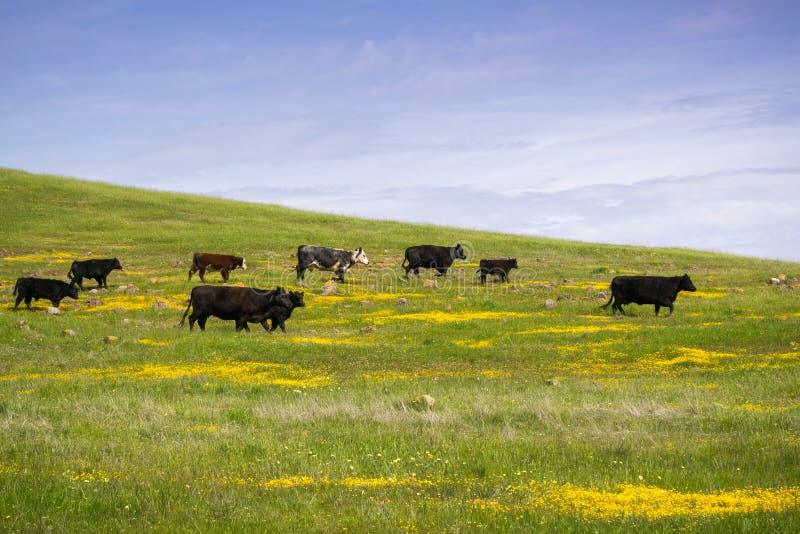 Bétail frôlant parmi des wildflowers de ressort, San Francisco Bay du sud, la Californie photographie stock