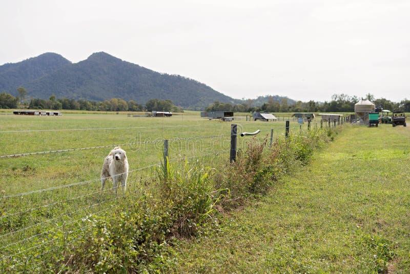 Bétail protecteur de chien de gardien photo libre de droits