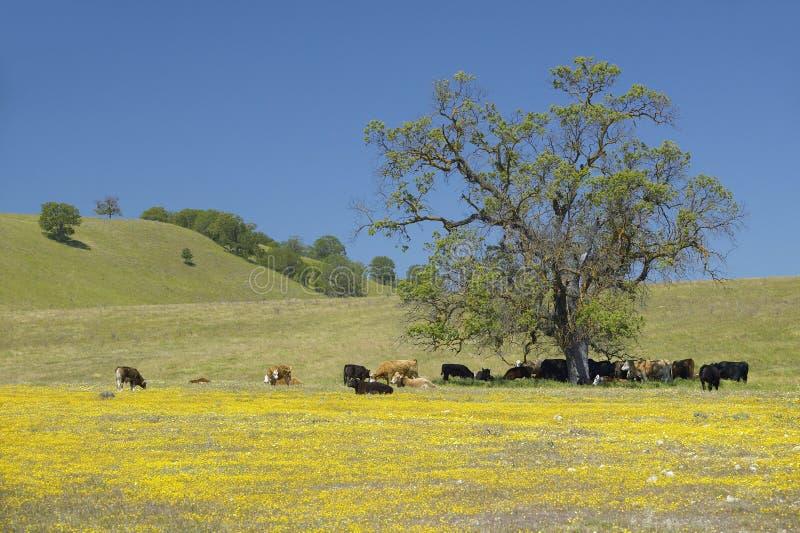Bétail sous l'arbre de l'itinéraire 58 à l'ouest de Bakersfield, CA sur Shell Creek Road au printemps photographie stock libre de droits