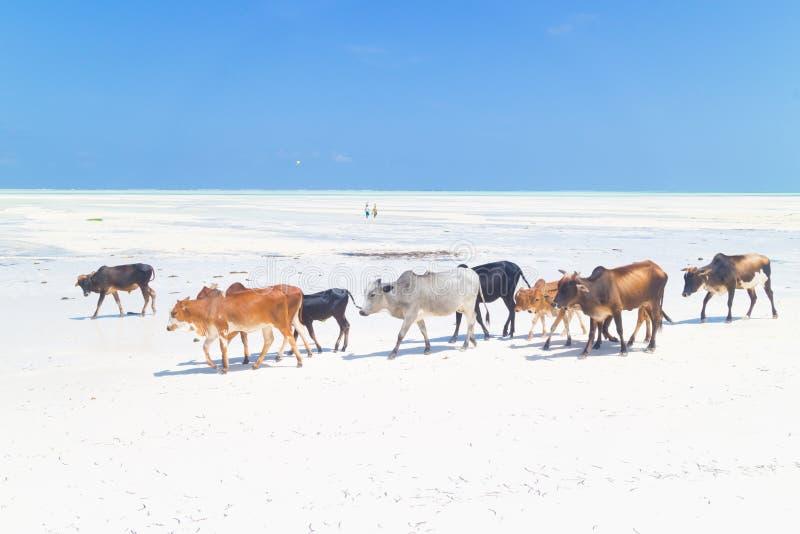 Bétail sur la plage de Paje, Zanzibar photo libre de droits