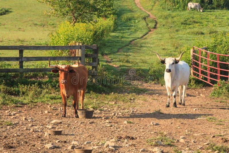 Bétail sur un ranch images libres de droits