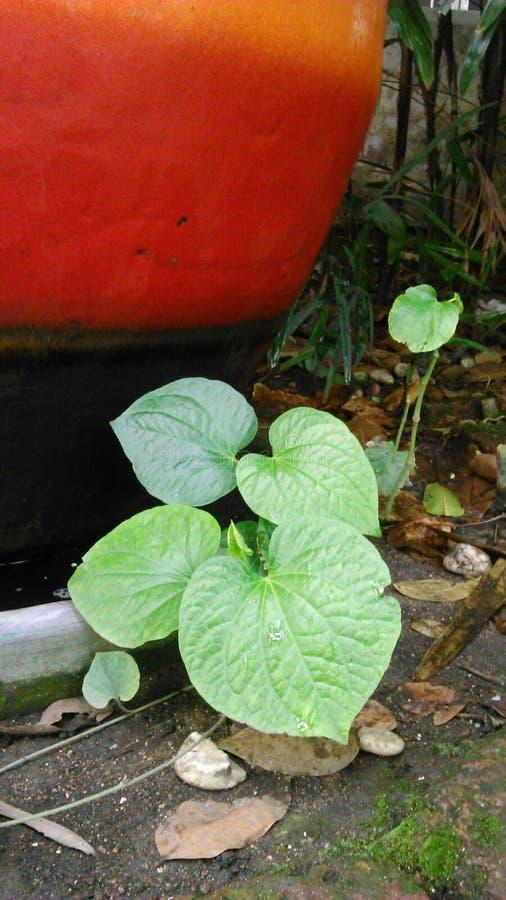 Bétel selvagem Leafbush fotografia de stock