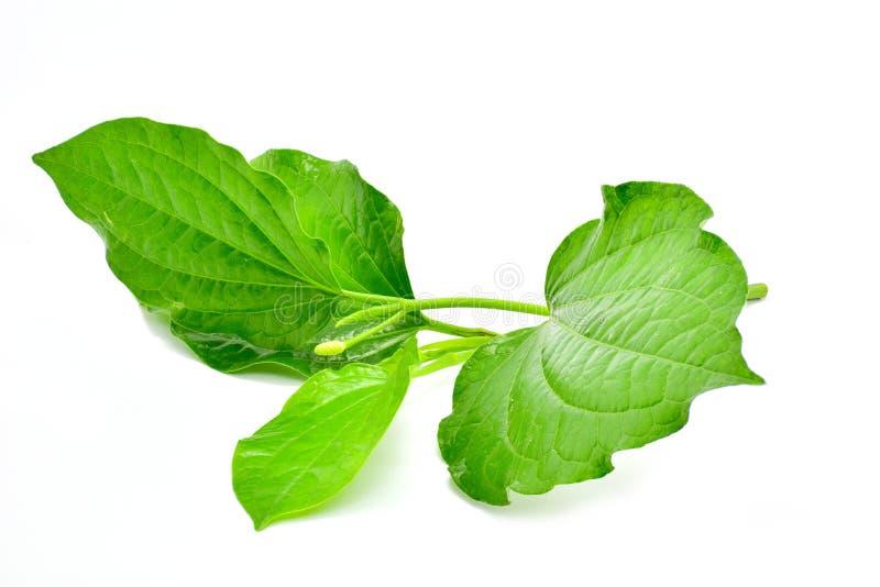 Bétel selvagem Leafbush isolado no fundo branco fotos de stock royalty free