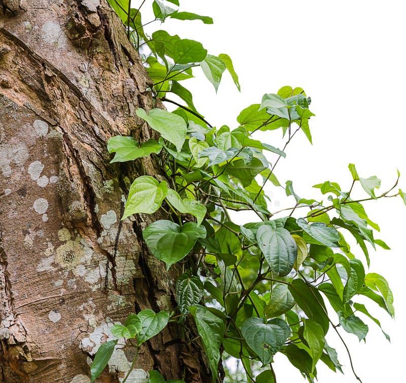 Bétel selvagem Leafbush na árvore fotografia de stock royalty free