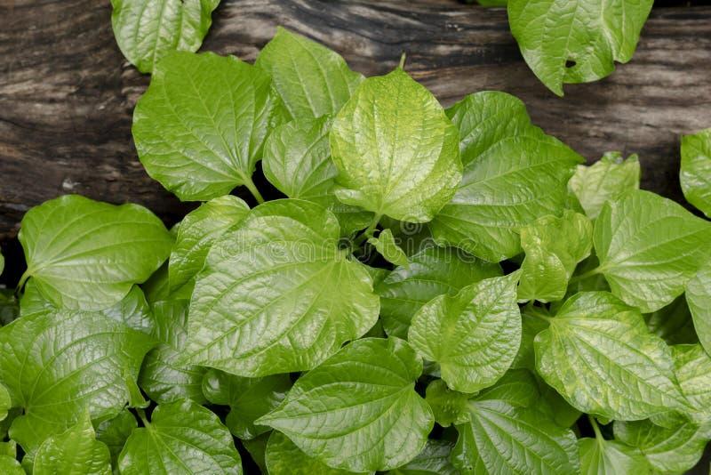 Bétel selvagem verde Leafbush O verde vegetal deixa o fundo natural imagens de stock