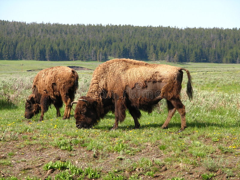 Bêtes de Yellowstone photos stock