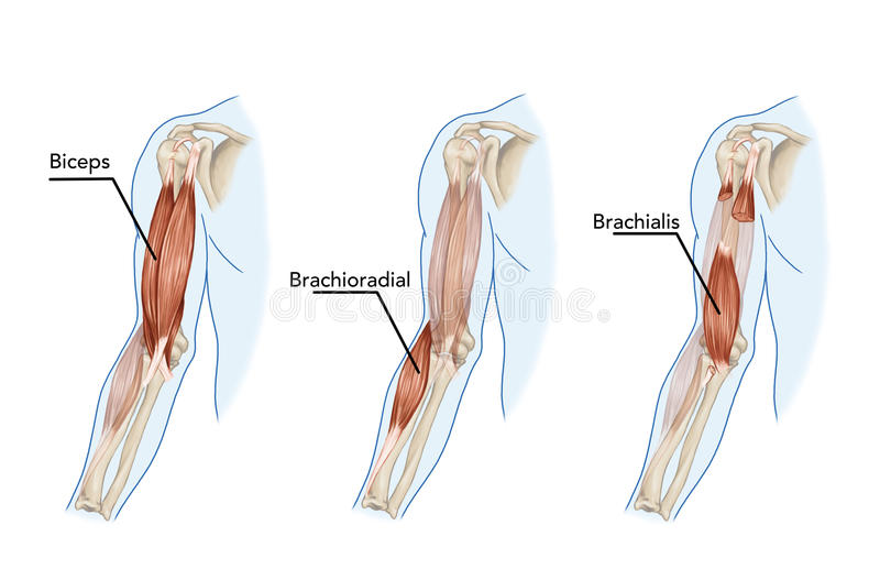 Bíceps, Brachii, Brachioradial ilustração stock