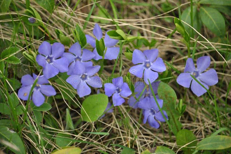 Bígaro cruciforme con las flores azules fotos de archivo