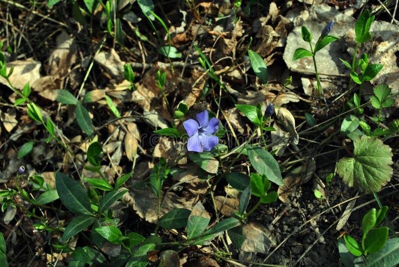 Bígaro importante del bigleaf del Vinca, bígaro grande, mayor bígaro, flor azul del bígaro, grassand fotos de archivo