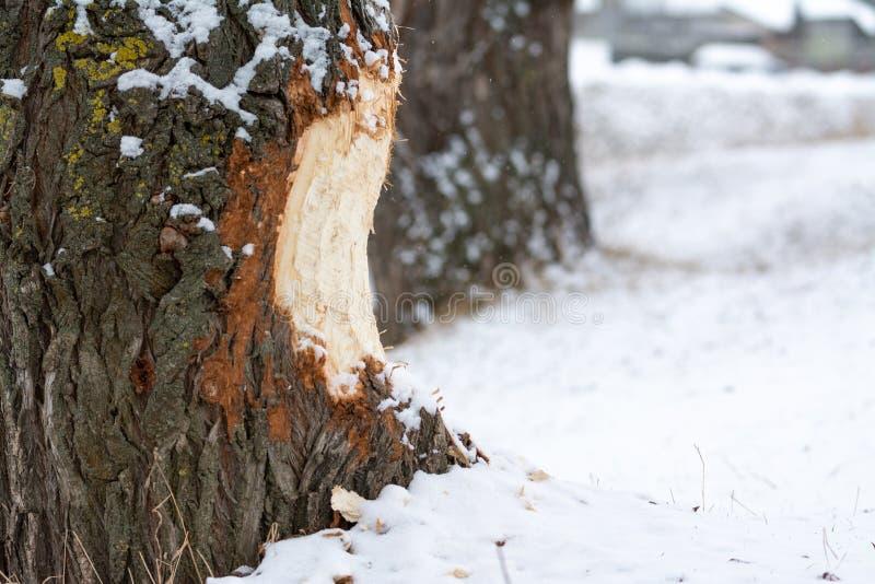 Bóbr żuć drewno obraz royalty free