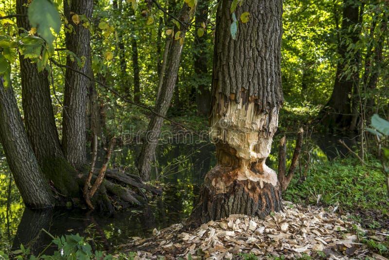 Bóbr opuszczał akcydensową połówkę robi! Drzewo jest tylko połówką ciącym wokoło obraz stock