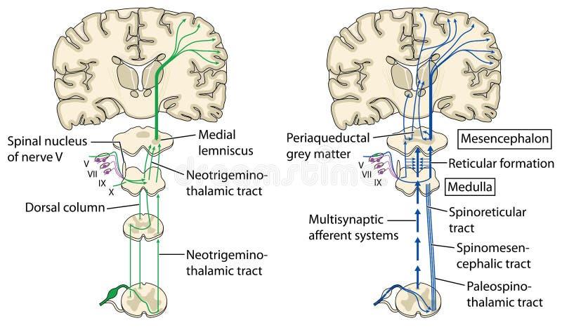 Bólowe drogi przemian mózg ilustracja wektor