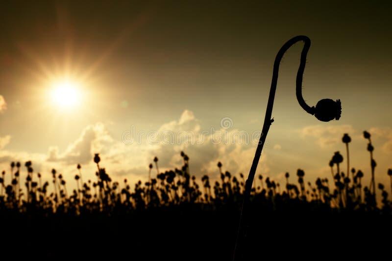Böjd stjälk av vallmofrö Aftonfält av vallmohuvud Torra blommor väntar plockningen arkivfoton