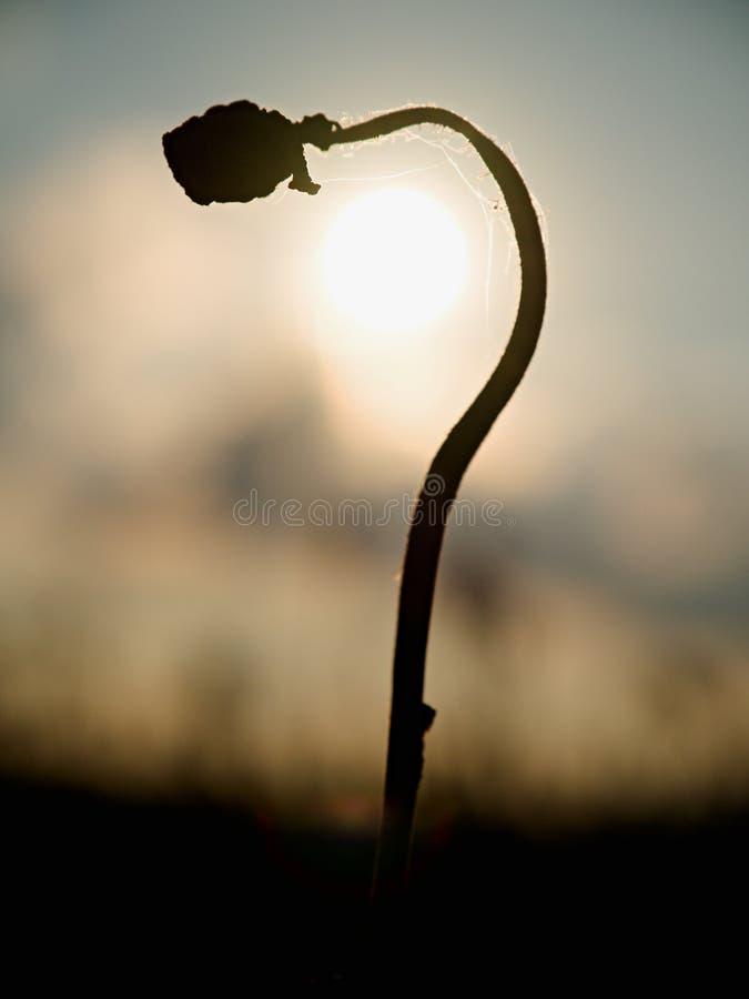 Böjd stjälk av vallmofrö Aftonfält av vallmohuvud Torra blommor väntar plockningen arkivbilder